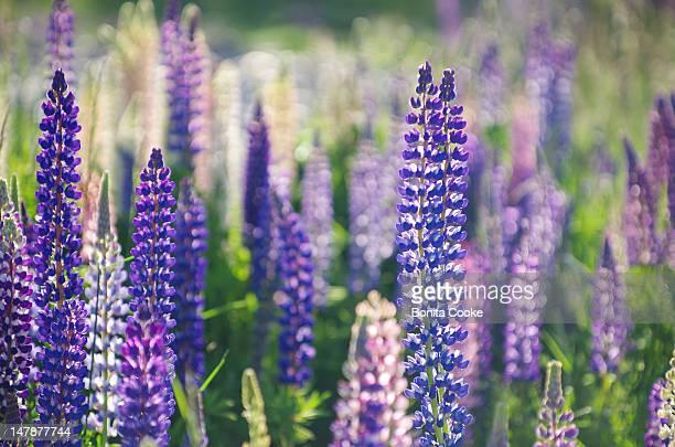 Lupin wildflowers