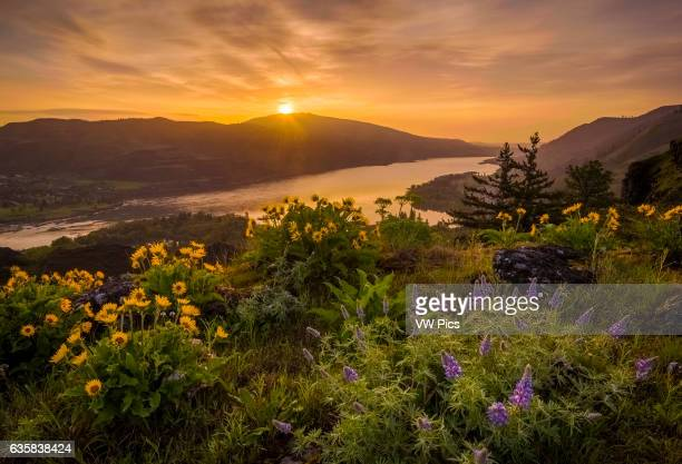 Lupine and balsamroot at Rowena Crest Oregon with sunrise over the Columbia River Gorge