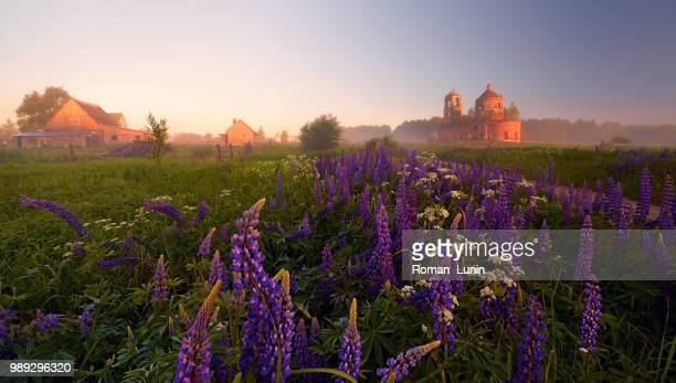 lupine dawn - lunin stock photos and pictures