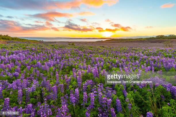 lupine field in iceland - wildflowers stock pictures, royalty-free photos & images
