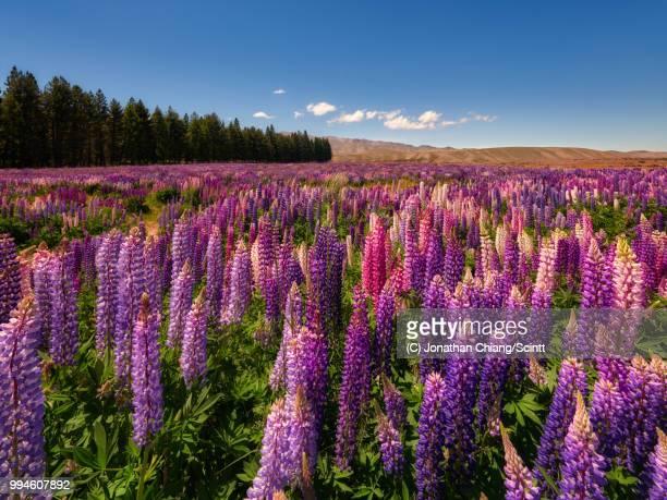 lupine fields - lago tekapo fotografías e imágenes de stock