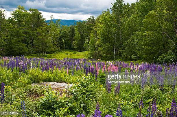lupine on parade - new hampshire stock pictures, royalty-free photos & images