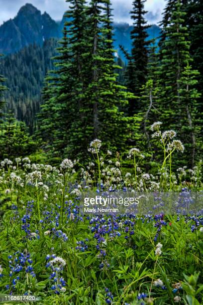 lupine wildflowers - wildflower stock pictures, royalty-free photos & images