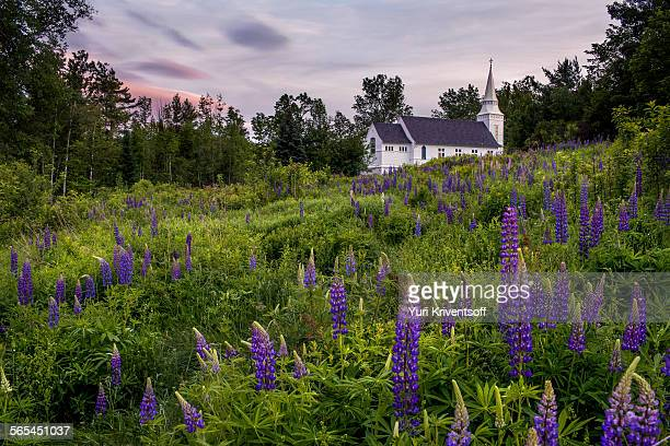 lupines at sugar hill, - new hampshire stock pictures, royalty-free photos & images