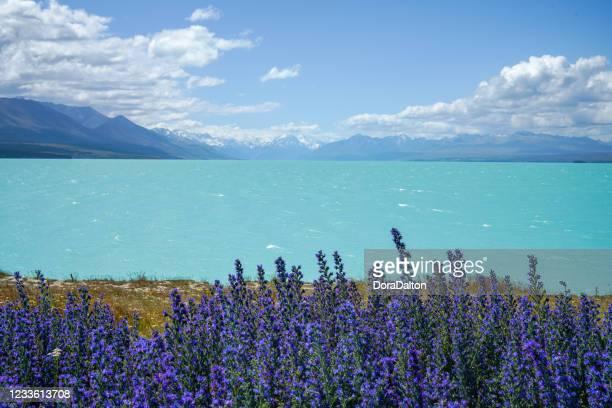 lupines en la orilla del lago tekapo, nueva zelanda - lago tekapo fotografías e imágenes de stock