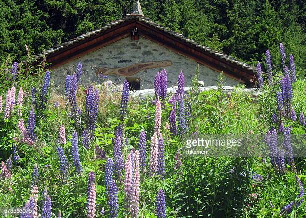 Lupins and stone cabin, Verbier, Switzerland