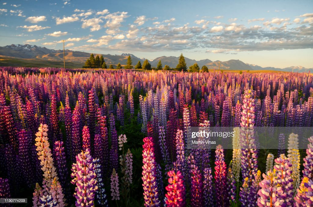 Lupins alrededor del lago Tekapo, Nueva Zelanda : Foto de stock