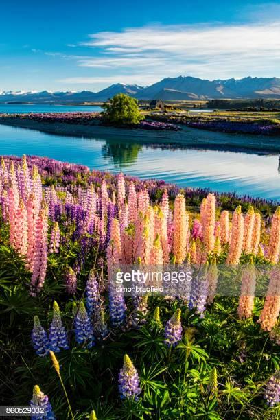 altramuces en isla del sur de lago tekapo, nueva zelanda - lago tekapo fotografías e imágenes de stock