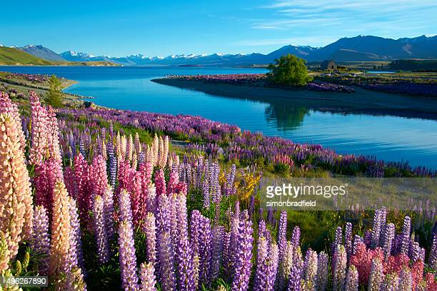 lupins at lake tekapo - new zealand stock pictures, royalty-free photos & images