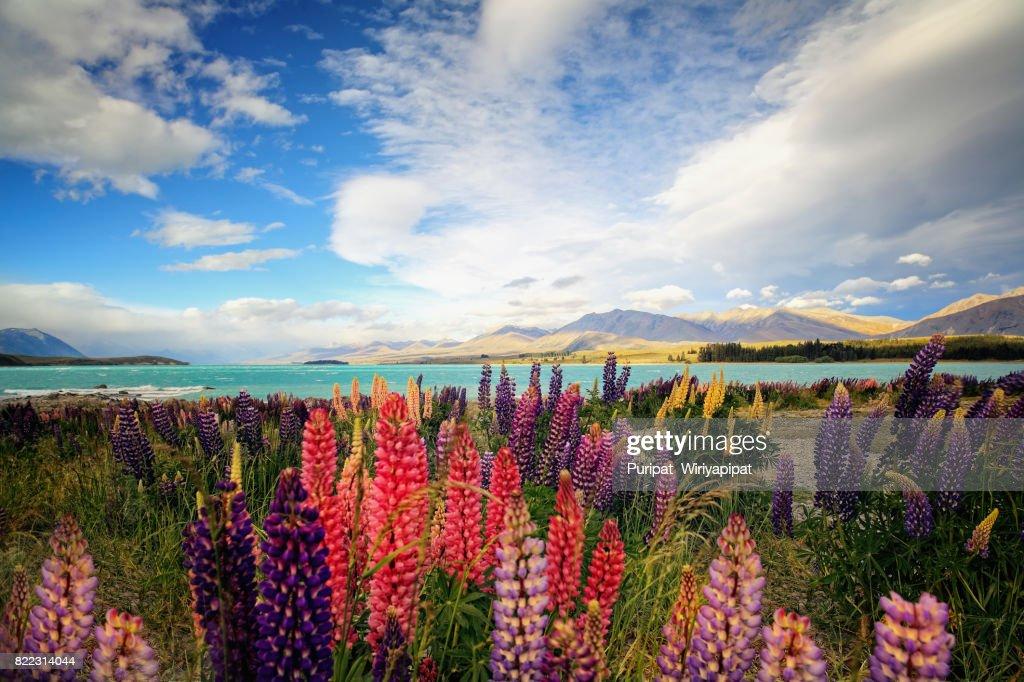 Lupins At Lake Tekapo : Stock Photo