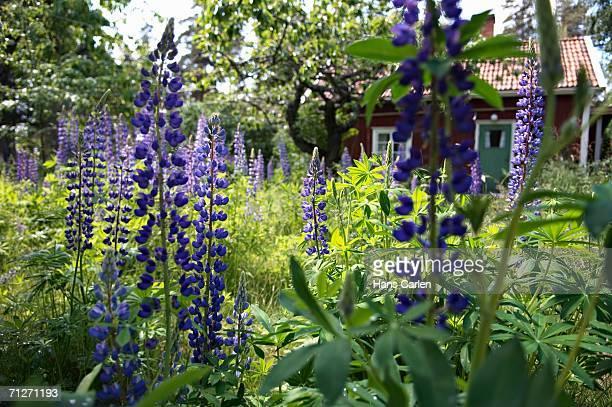 Lupins in a garden.