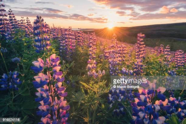 lupins in bloom and midnight sun, iceland - bedektzadigen stockfoto's en -beelden