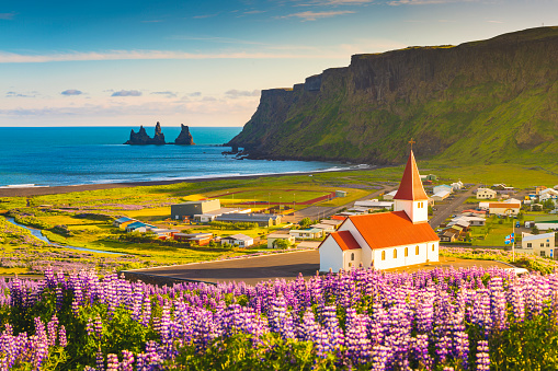 Lupins in bloom at the village of Vik, Iceland - gettyimageskorea
