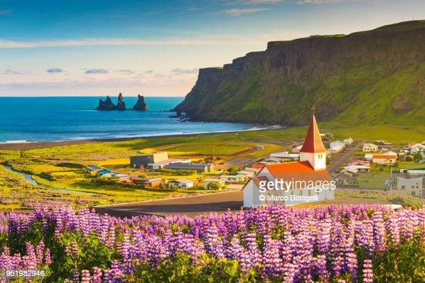 lupins in bloom at the village of vik, iceland - islanda foto e immagini stock
