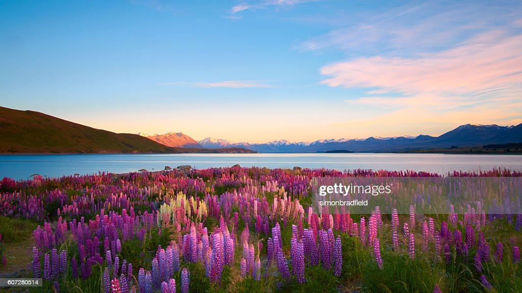 Lupins Lake Tekapo : Stock-Foto