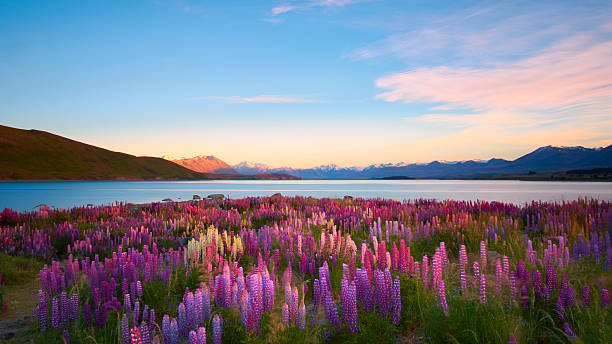 lupins of lake tekapo - horizontal stock pictures, royalty-free photos & images