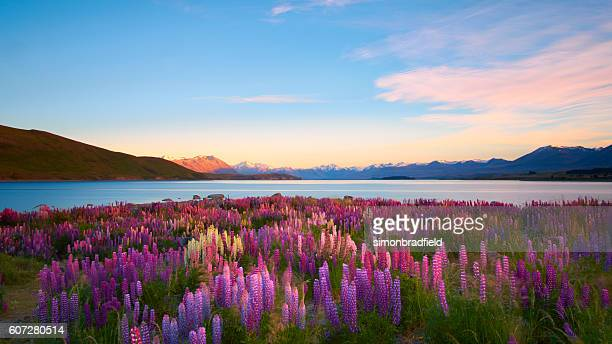lupins of lake tekapo - landschap stockfoto's en -beelden