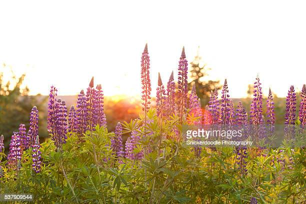 lupins with flare at sunset - snickerdoodle stock pictures, royalty-free photos & images