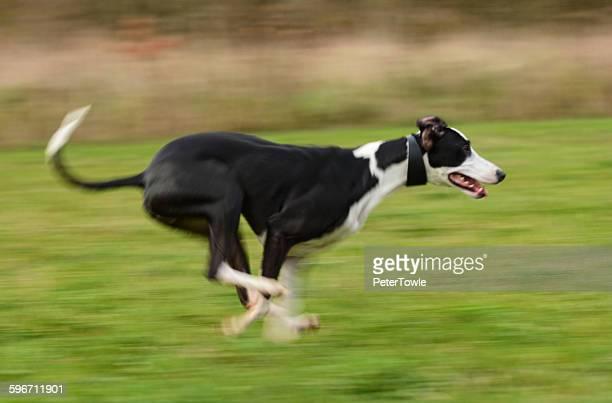 Lurcher at speed