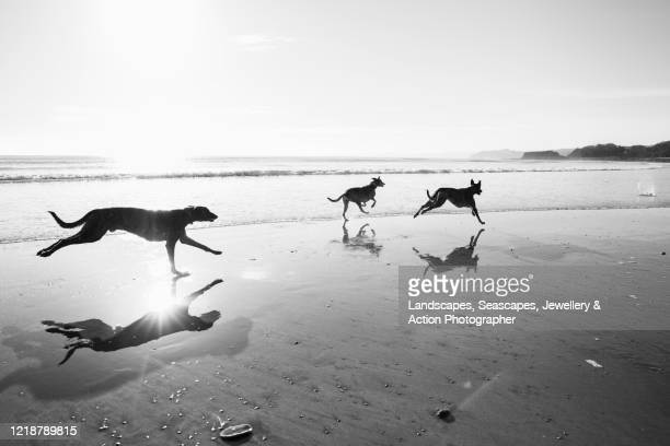 lurcher dogs racing down a reflective beach in winter - black and white stock pictures, royalty-free photos & images