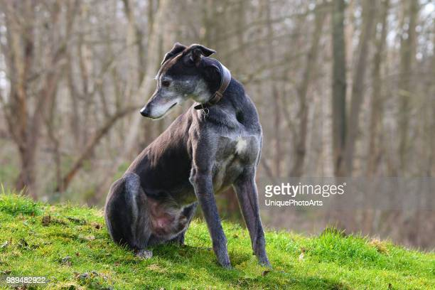 lurcher - greyhound stock photos and pictures