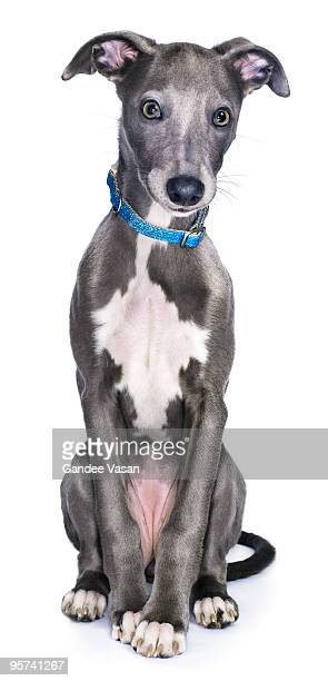 lurcher/whippet dog  - whippet stock pictures, royalty-free photos & images