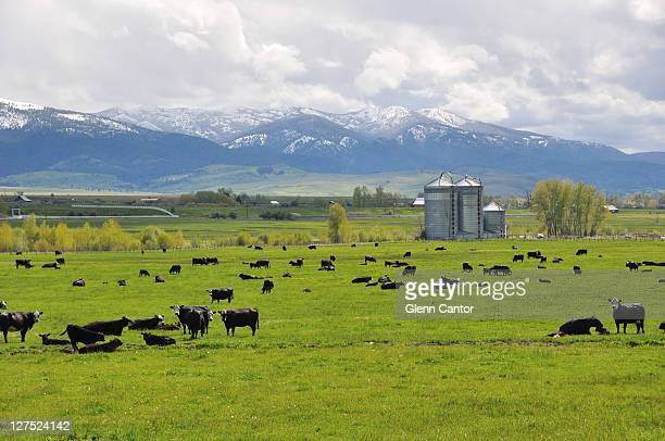 Lush cattle pasture in mountains