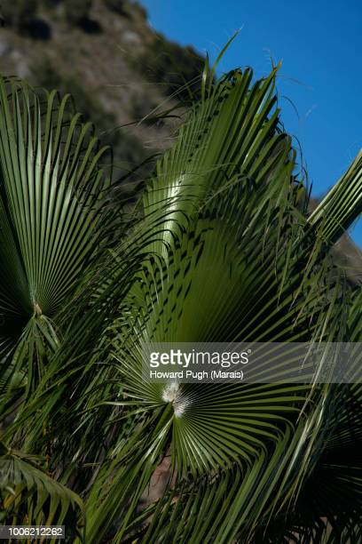 Lush Fan Foliage. Spanish, Semi-Arid, Urban Landscape