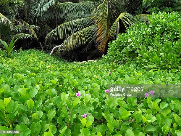 Lush Foliage and Palmtrees on the Beach at Cerf Island, Seychelles, Indian Ocean