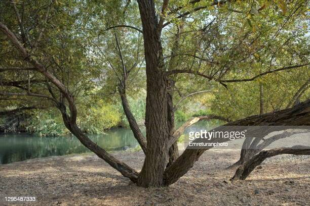 lush foliage and trees around muradiye river in autumn. - emreturanphoto stock pictures, royalty-free photos & images