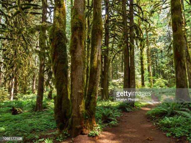lush forest - old salmon river trail - mount hood national forest - mt hood national forest stock pictures, royalty-free photos & images