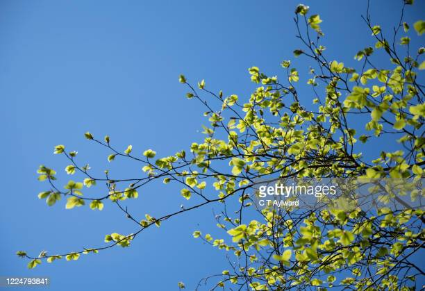 lush green beech tree foliage - lush stock pictures, royalty-free photos & images