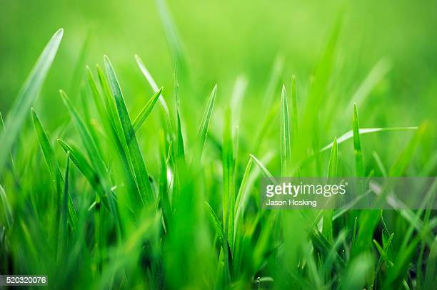 lush green blades of grass - gras stock pictures, royalty-free photos & images