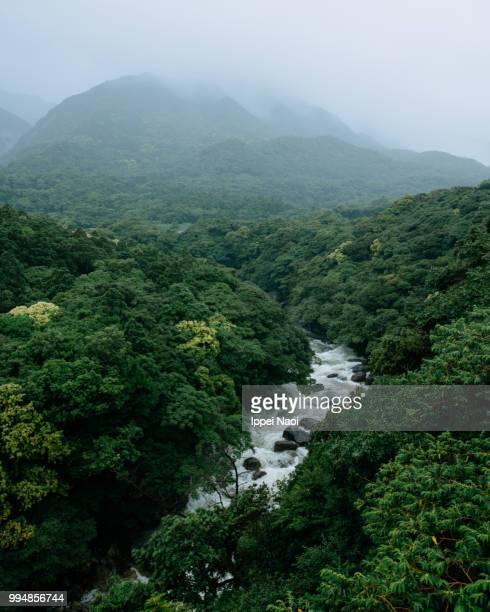 lush green forest and river in rain, yakushima island, japan - foresta temperata foto e immagini stock