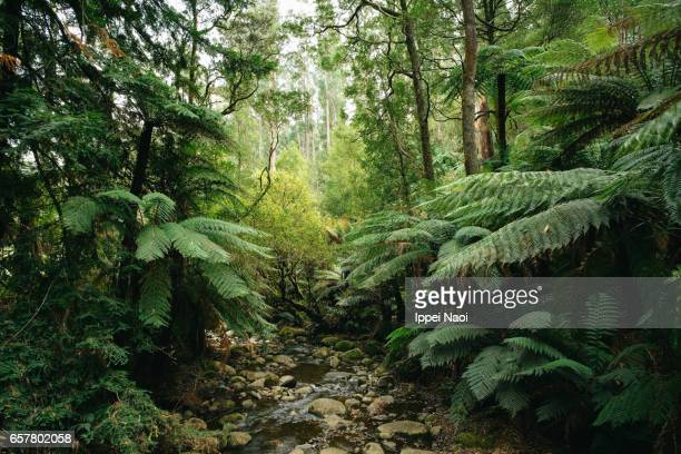 Lush green forest of Dandenong Ranges National Park, Victoria, Australia