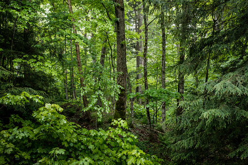 Lush green forest 1046715184