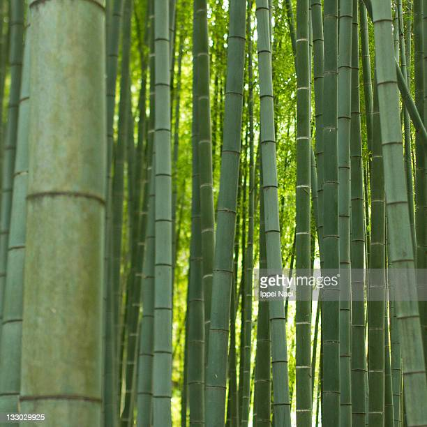 lush green giant bamboo forest, japan - ippei naoi stock photos and pictures