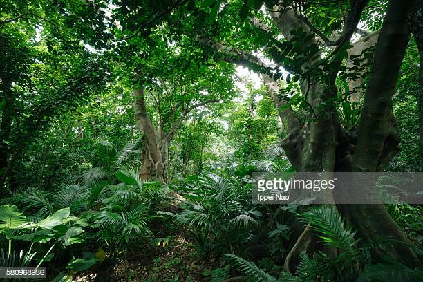 lush green jungle, iriomote-ishigaki national park, japan - tropical rainforest stock pictures, royalty-free photos & images