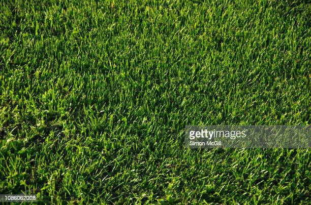 lush green lawn - grass stock pictures, royalty-free photos & images