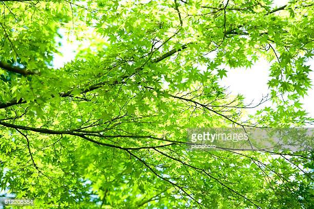Lush Green Leaves of a Maple Tree. Kamakura, Kanagawa Prefecture, Japan