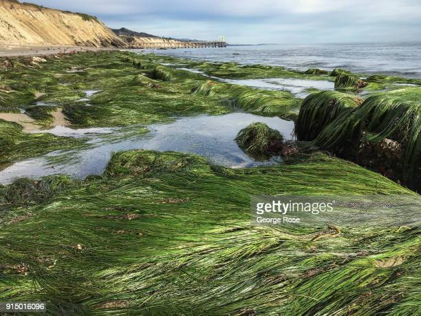 Lush green sea grass is exposed to the air at low tide on January 31 at Gaviota State Beach California Because of its close proximity to Southern...