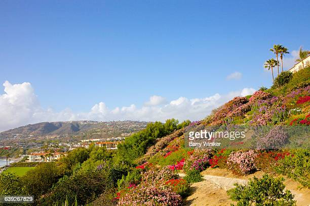 lush hillside with flowers, laguna niguel, ca - laguna niguel stock pictures, royalty-free photos & images