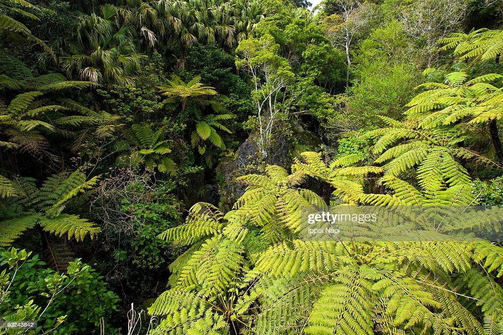 Lush Jungle With Tree Fern Hachijo Japan Stock Photo - Getty