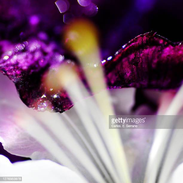 lush life purple flower - yonkers stock pictures, royalty-free photos & images