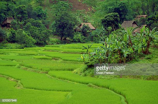 lush rice farm in vietnam - son la province stock pictures, royalty-free photos & images