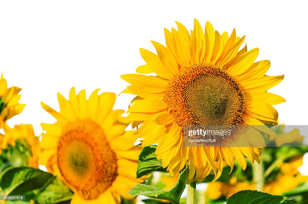 lush sunflowers on white : Foto de stock