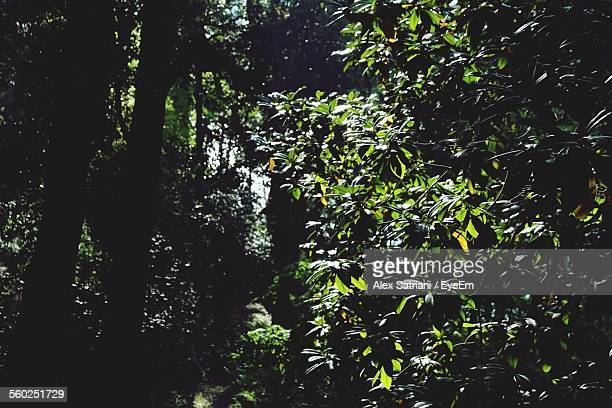Lush Trees In Forest