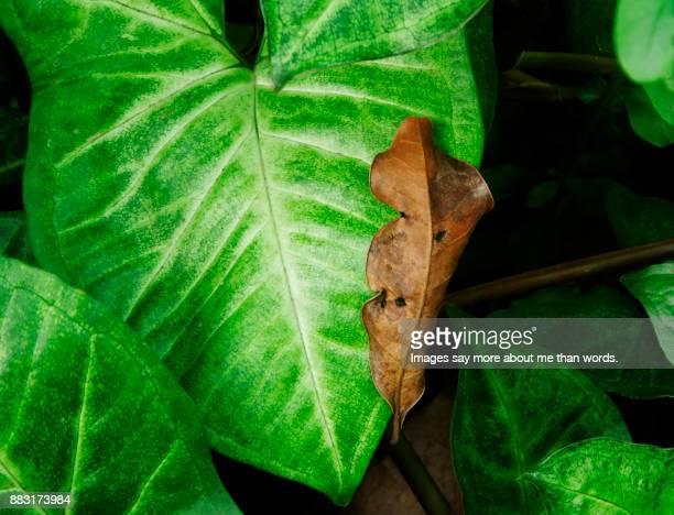 A lush tropical leaf on which fell a dry leaf. Close up
