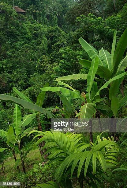 Lush tropical vegetation, in Payogan, Bali