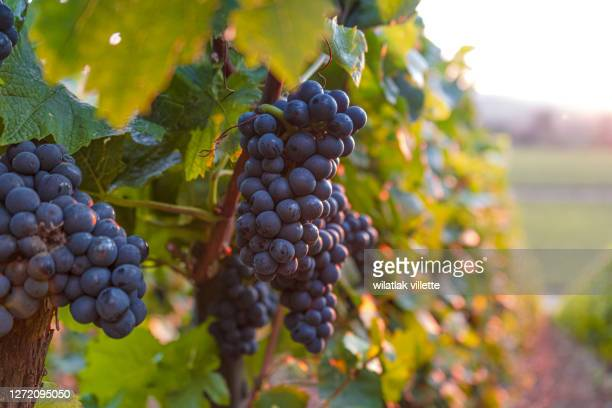 lush wine grapes clusters hanging on the champagne - uvas cabernet sauvignon - fotografias e filmes do acervo